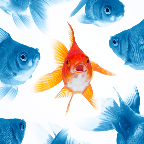 Gold Fish Surrounded by Blue Fish is an Analogy of my Uniqueness